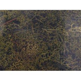 Mousse lichen islandais vert moyen 250 grammes - HEKI 3234